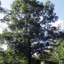 Quercus 'K.B. Crystal' (K. B. Crystal Oak), flower, pistillate