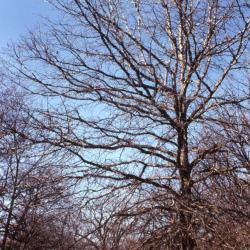 Quercus coccinea (scarlet oak), habit, summer