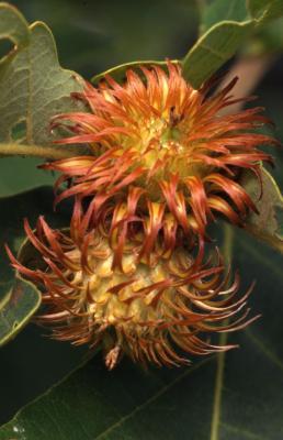 Quercus dentata (Daimyo oak), acorn caps detail