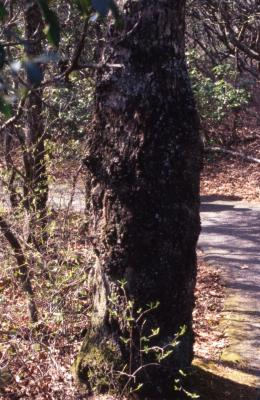 Quercus coccinea (scarlet oak), trunk base with chestnut blight