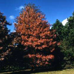 Quercus acutissima (Sawtooth Oak), bark, mature