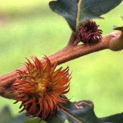 Quercus alba (White Oak), bark, twig