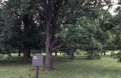 Quercus ×deamii  (Deam's oak), Oak Collection