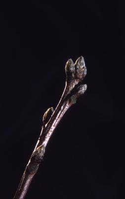 Quercus coccinea  (scarlet oak), bud detail