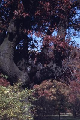 Quercus ellipsoidalis (Hill's oak), red leaves and branches