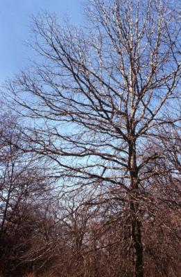 Quercus bicolor (swamp white oak), habit