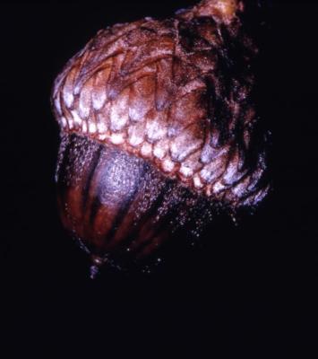Quercus coccinea (scarlet oak), acorn detail