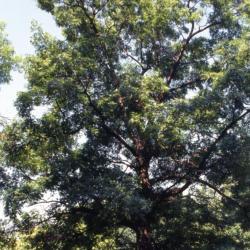 Quercus dentata (Daimyo oak), habit, summer