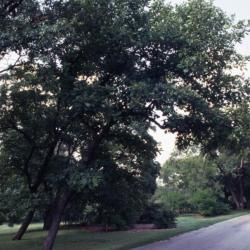 Quercus alba (White Oak), bark, mature