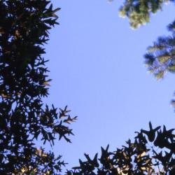 Quercus alba (White Oak), bud, terminal