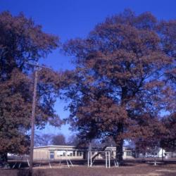 Quercus alba (White Oak), bud, lateral