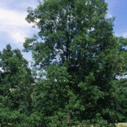 Quercus 'K.B. Crystal' (K. B. Crystal Oak), bark, branch
