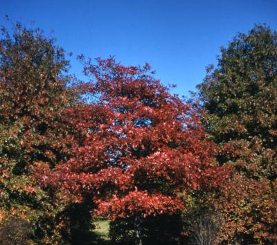 Quercus coccinea (scarlet oak), habit, fall