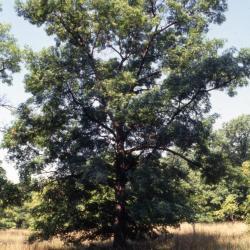 Quercus 'K.B. Crystal' (K. B. Crystal Oak), leaf, summer