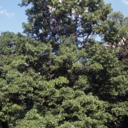 Quercus dentata (Daimyo oak), acorn detail