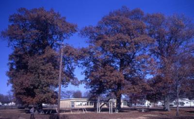 Quercus falcata (southern red oak), various species, habit