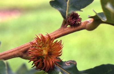 Quercus dentata (Daimyo oak), acorns on twig detail