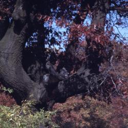 Quercus ellipsoidalis (Hill's Oak), fruit, immature